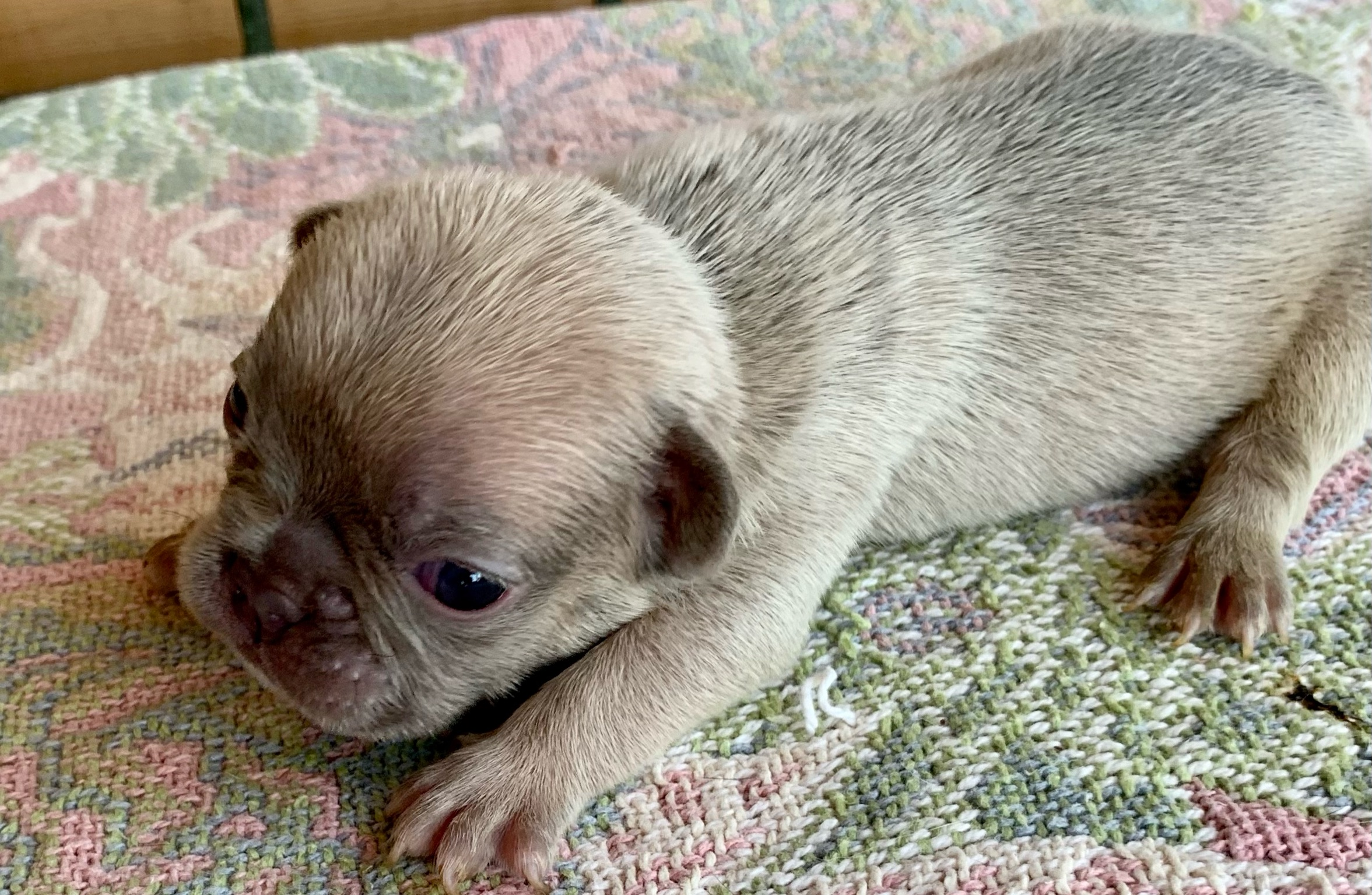Lilac Fawn Male French Bulldog: Nobel-4892