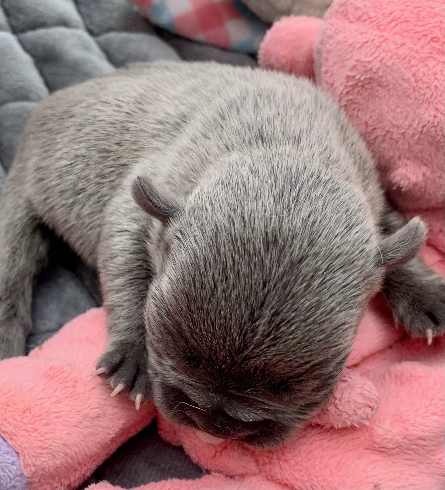 Pied & Blue French Bulldog Litter: March 28, 2021