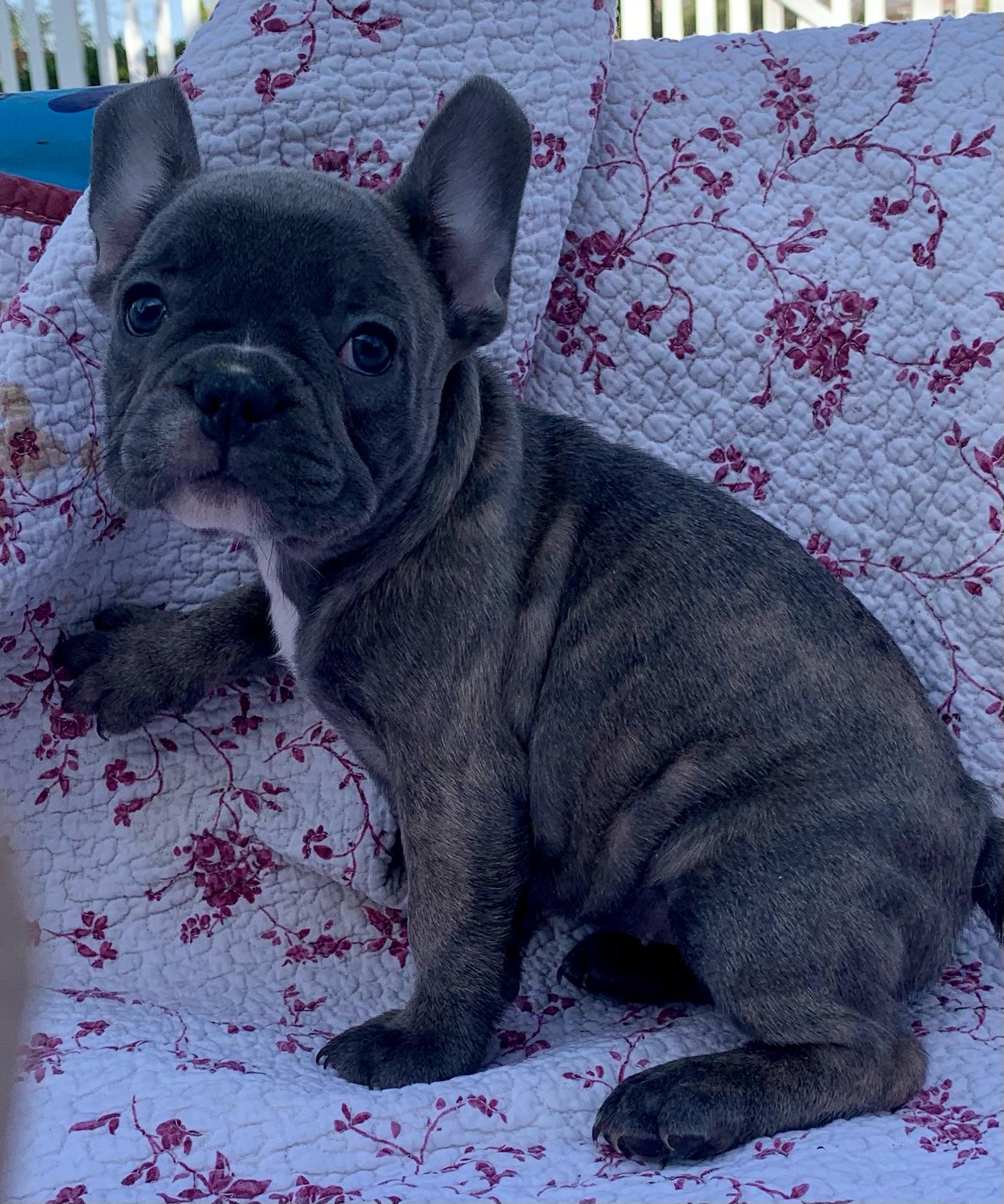 Blue Female French Bulldog: Midnight-2798-Sold