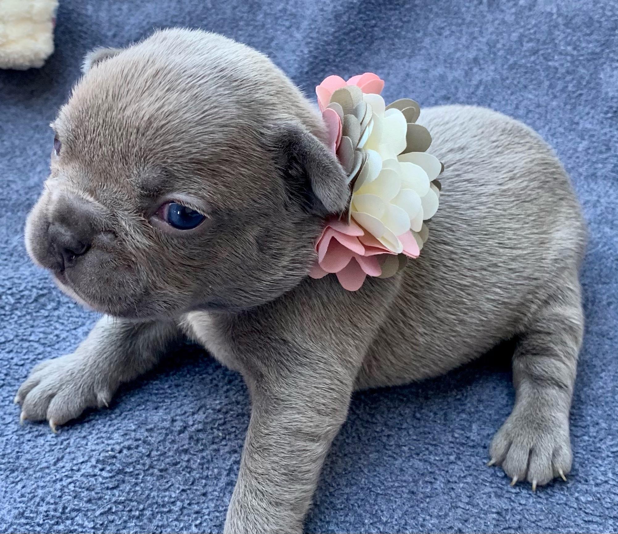 Lilac Male French Bulldog: Rosebud- 5728