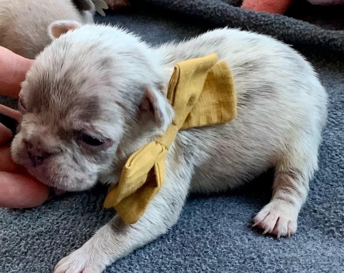 Lilac Merle Male French Bulldog: Theo-2532