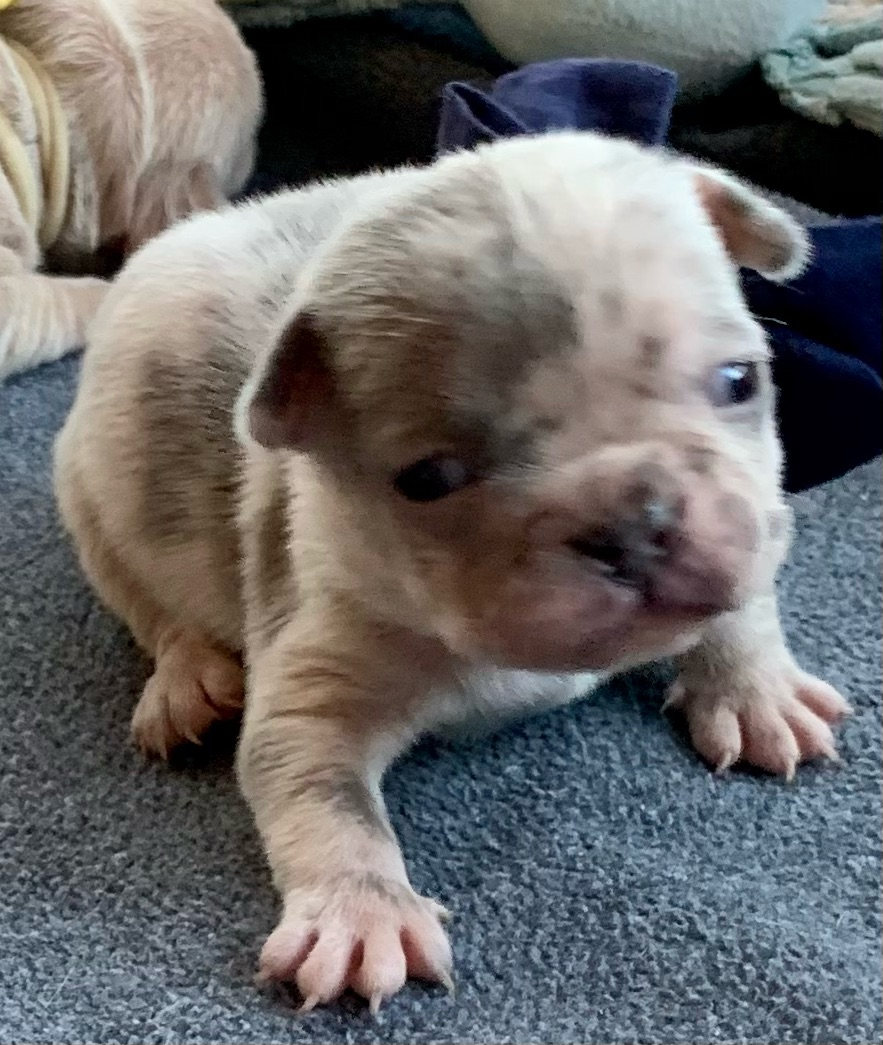Lilac Merle Male French Bulldog: Tanner-9107