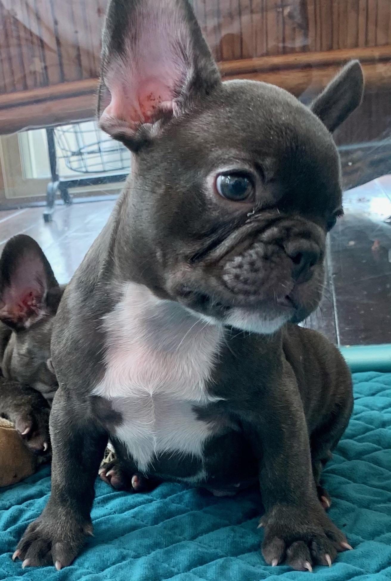 Chocolate Male French Bulldog: Pretzel- 5183