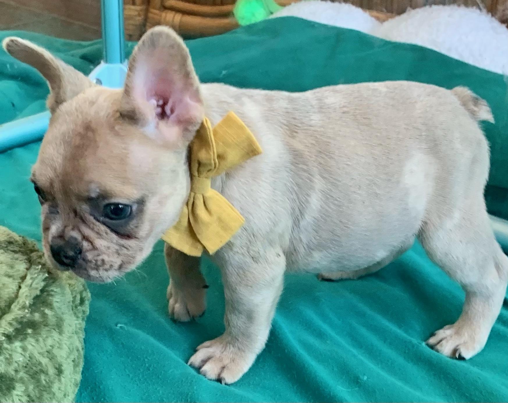 Merle Male French Bulldog: Viper- 2150