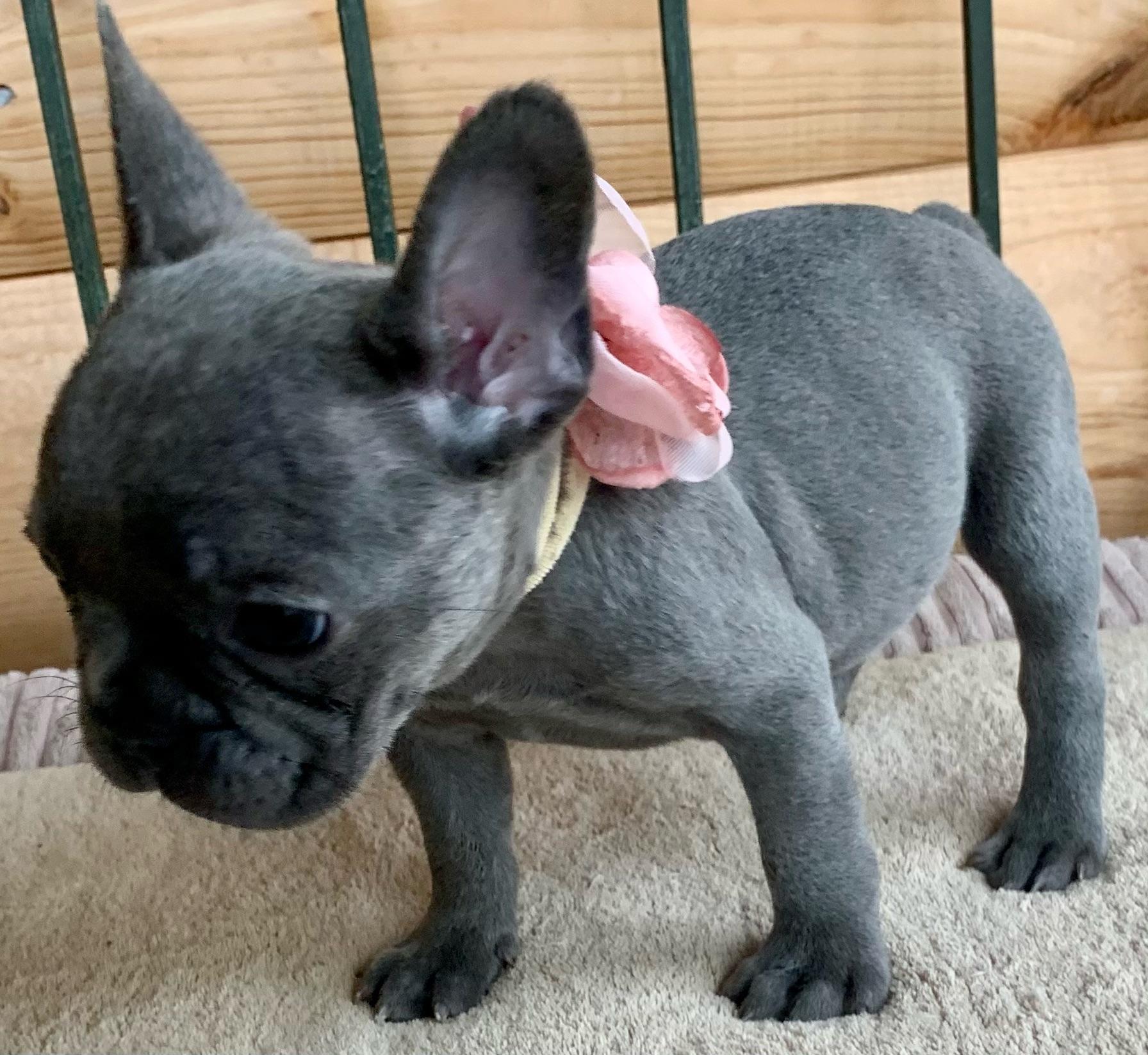 Blue Female French Bulldog: Velvet- 9387- SOLD