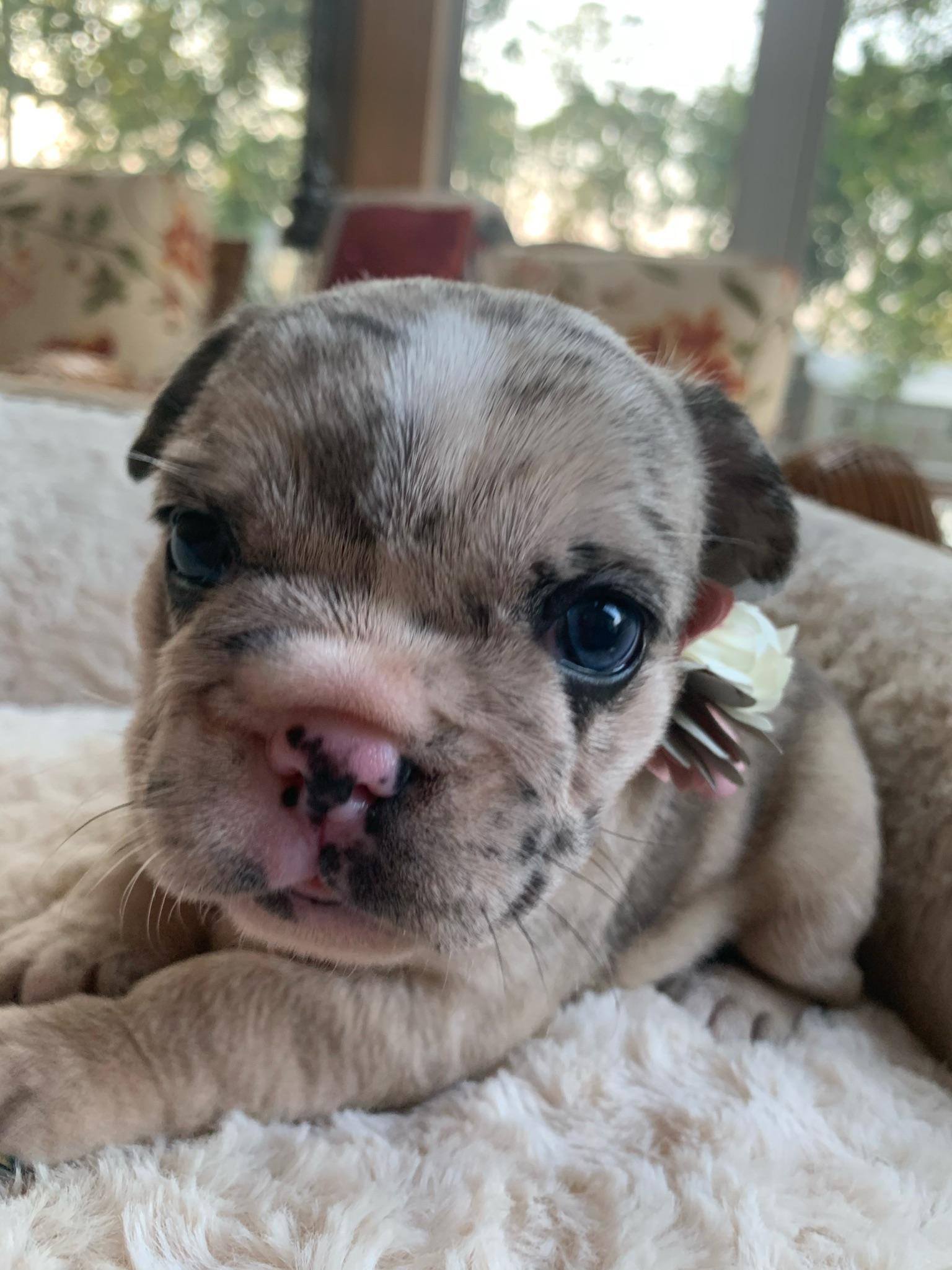Blue Merle Female French Bulldog: Angel-SOLD