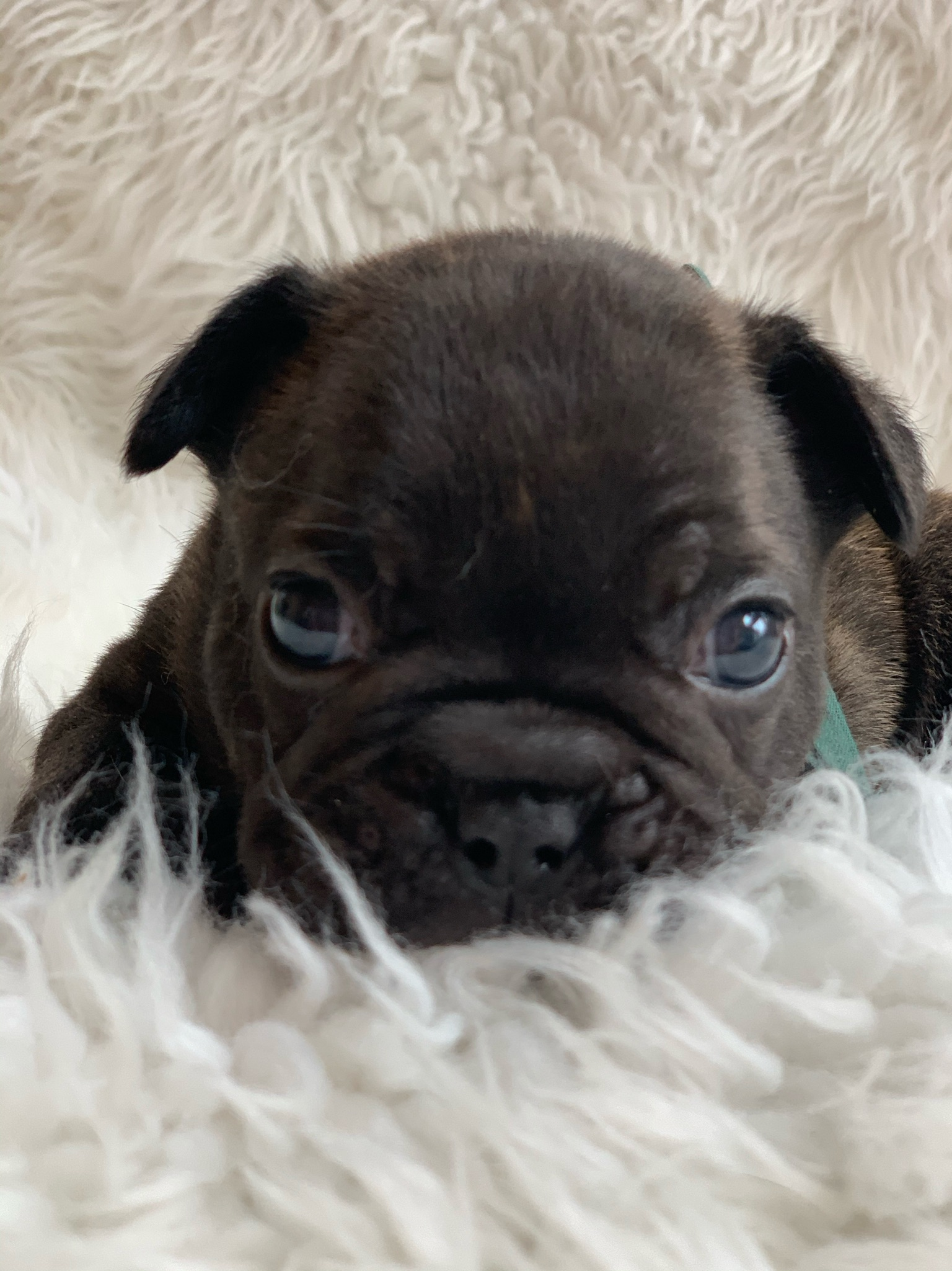 Brindle Male French Bulldog: Jabba- 0690