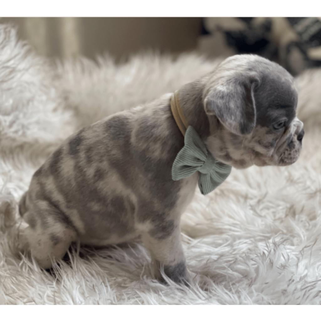 Lilac Merle Male French Bulldog: Maverick