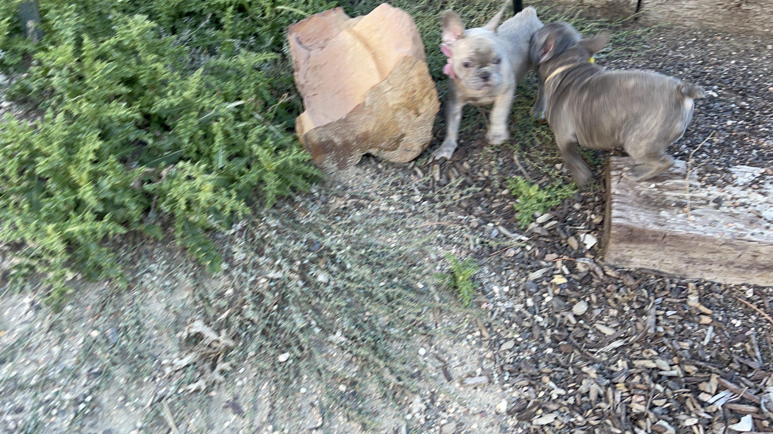 Lilac Fawn Male French Bulldog: Hoagie