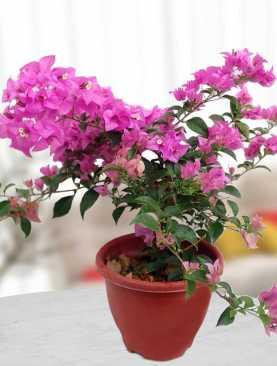 Delicate Bougainvillea plant