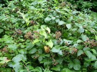 Blackberry bush / bramble_3