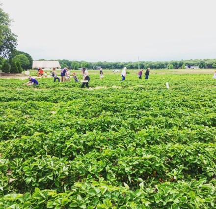 Schartner Farms Strawberry Picking