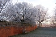 Wintry mulberry in walled garden