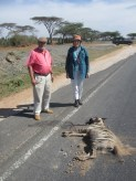 Wildlife are, increasingly, killed on the roads. This is a rare striped hyaena