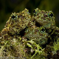 Amazing Frogs- Camouflage