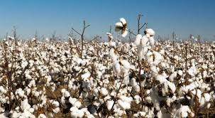 Cotton cultivated over 2.69m hectares during current season