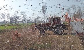 Locusts deal severe damage crops in Sindh, southern Punjab
