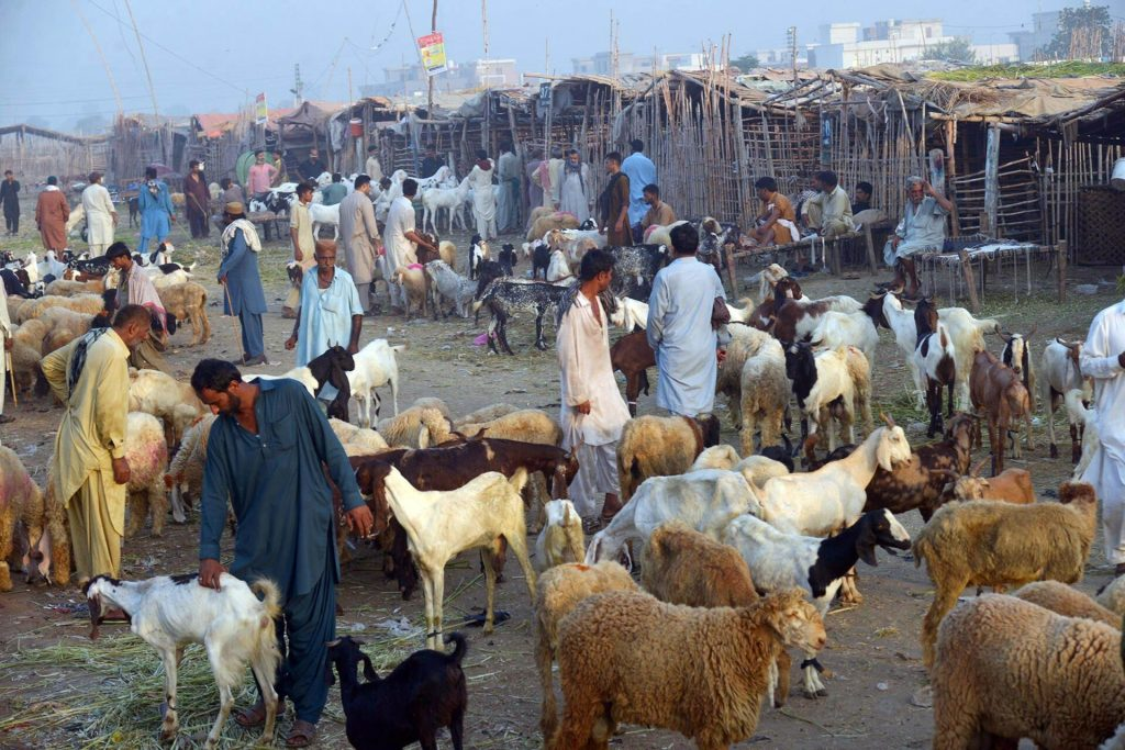 Pic04-004 LAHORE: Jul04- Vendors display sacrificial animals (Sheep's, Goats) at animal market of Shah Pur Kanjra for the upcoming Eid ul-Adha in provincial capital. ONLINE PHOTO by Sajid Rana