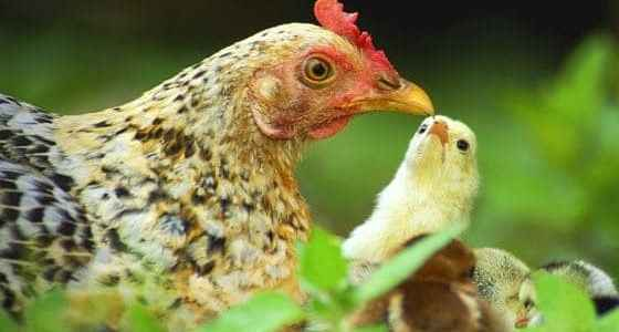 chicken mistakes to avoid