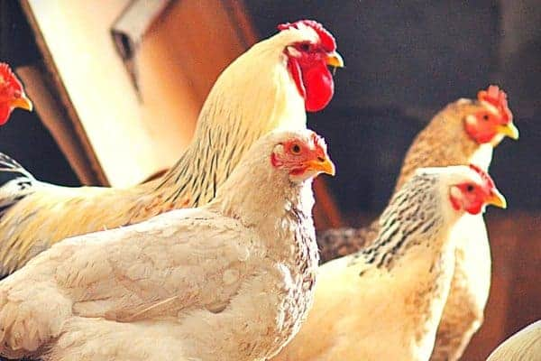 5 Heritage Chicken Breeds Our Grandparents Kept