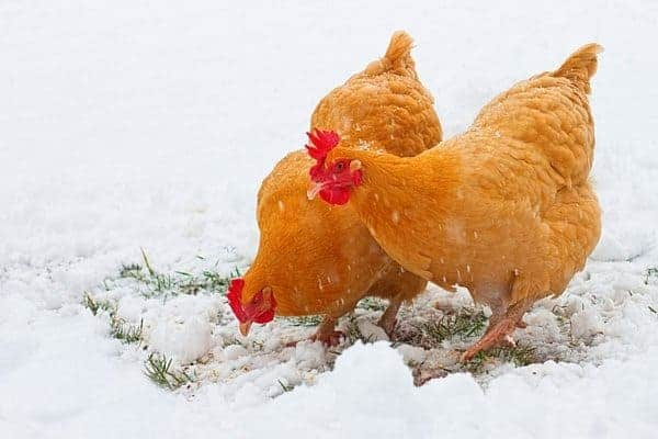 Heritage chicken breeds were just as important to our grandparents as they are today. These 5 heritage chicken breeds all make great dual purpose birds, and fit into any homestead, regardless of size. From FrugalChicken