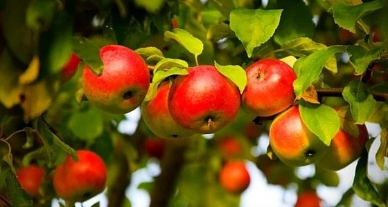 Planting a homestead orchard with fruit trees is simple. Here's how to choose a variety, successfully plant trees, and ensure your trees will set fruit.
