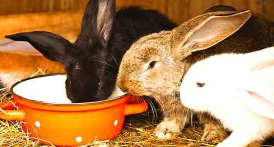 Raising rabbits on your homestead for meat is a great way to have a consistent supply of lean, healthy meat. Rabbits are easy to keep and breed for even a beginner. Here's a look at our rabbits and what you need to know.