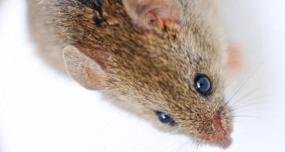 keep mice out of chicken coop