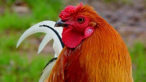 The Best Bedding For Backyard Chickens [Podcast]