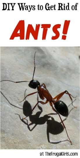 DIY Ways to Get Rid of Ants