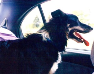 Dog Road Trip Tips at TheFrugalGirls.com