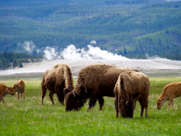 Yellowstone National Park Travel Tips at TheFrugalGirls.com