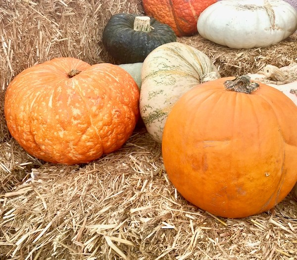 Pumpkin Growing Tips