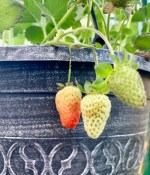 Strawberry Gardening Tips