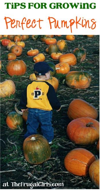 Best Pumpkin Growing Tips - Grow Perfect Pumpkins at TheFrugalGirls.com