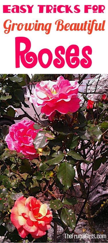 Easy Tricks for Growing Beautiful Roses from TheFrugalGirls.com