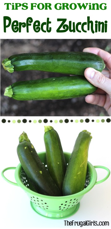 Zucchini Growing Tips at TheFrugalGirls.com