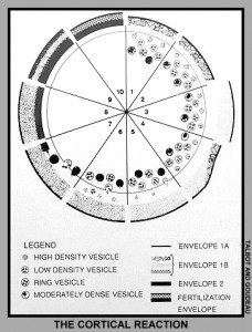 Schematic diagram showing formation of the fertilization envelope.