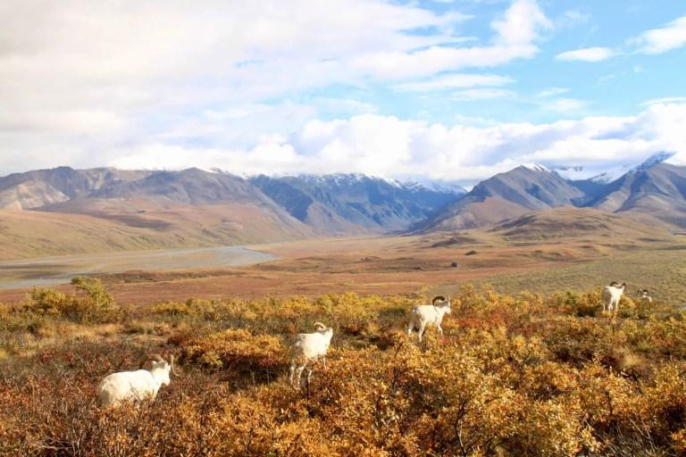 Dall Sheep in Denali National Park