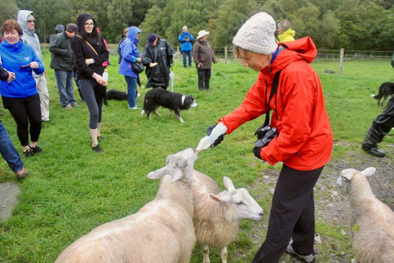 Mama M feeding lambs