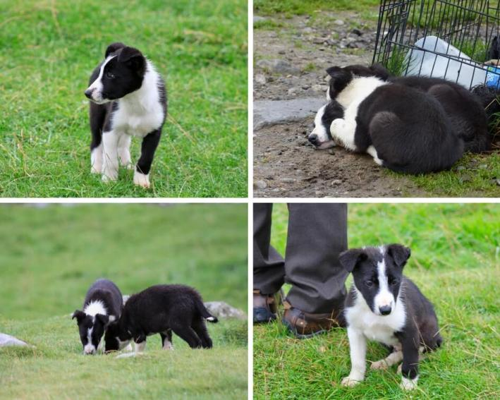Four photos of border collie puppies