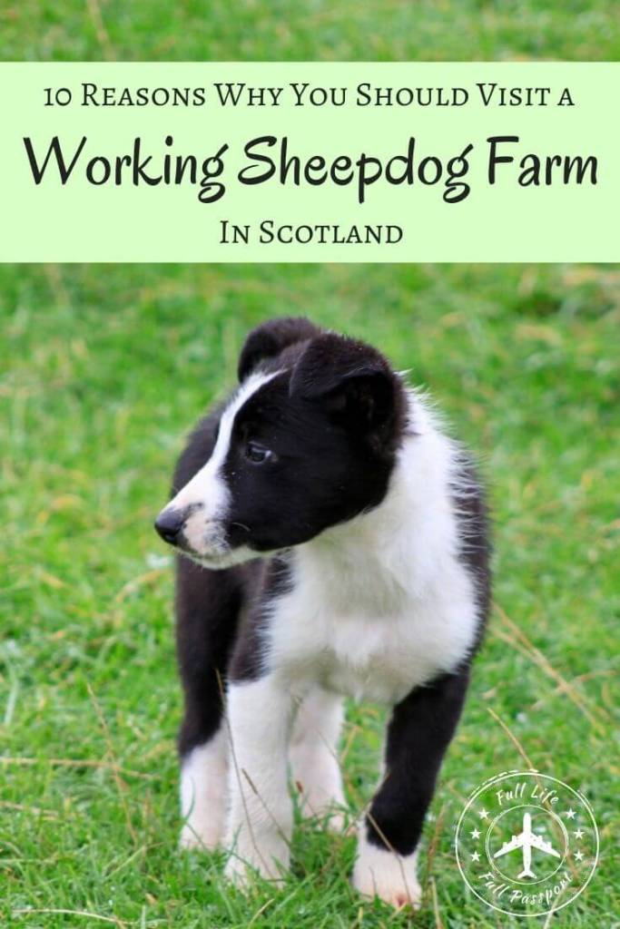 Visiting a farm with working sheepdogs is one of the best things to do in Scotland. This sheepdog herding demonstration is not to be missed!