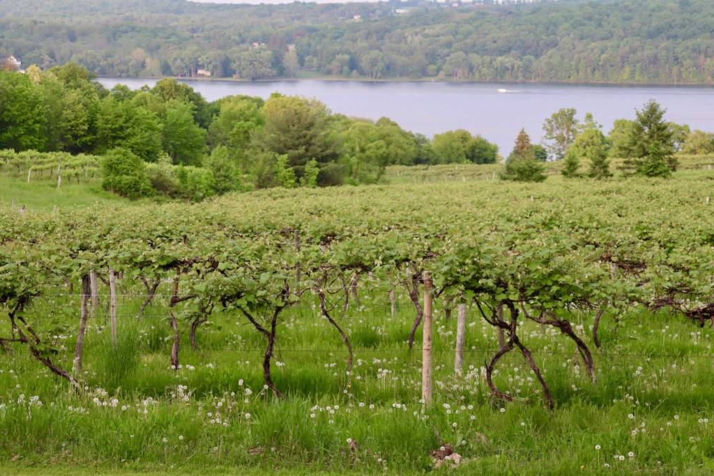 vineyard and Keuka Lake in New York's Finger Lakes region
