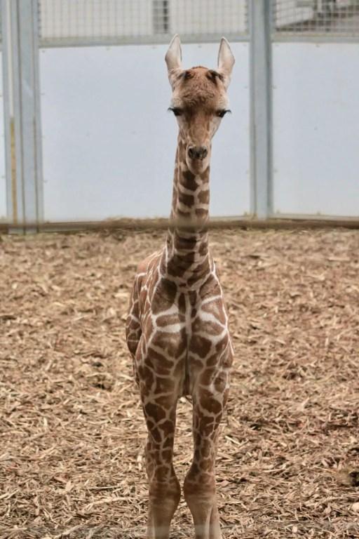 Baby giraffe at the Omaha Zoo
