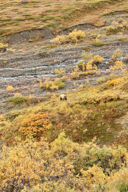 Grizzly bear among fall undergrowth in Denali