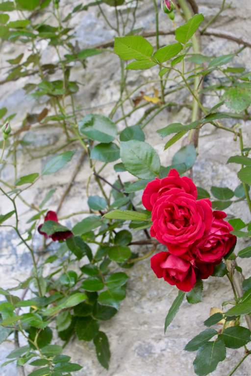 Roses growing on stone of Cahir Castle