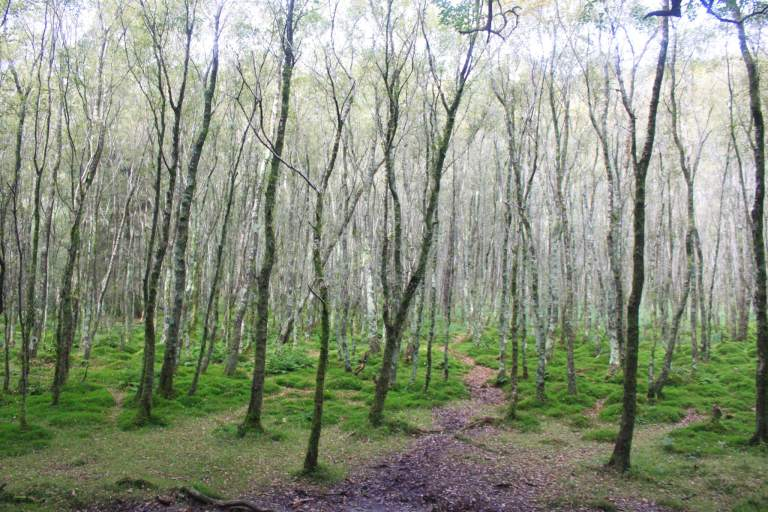 Skinny silvery trees in a forest glade