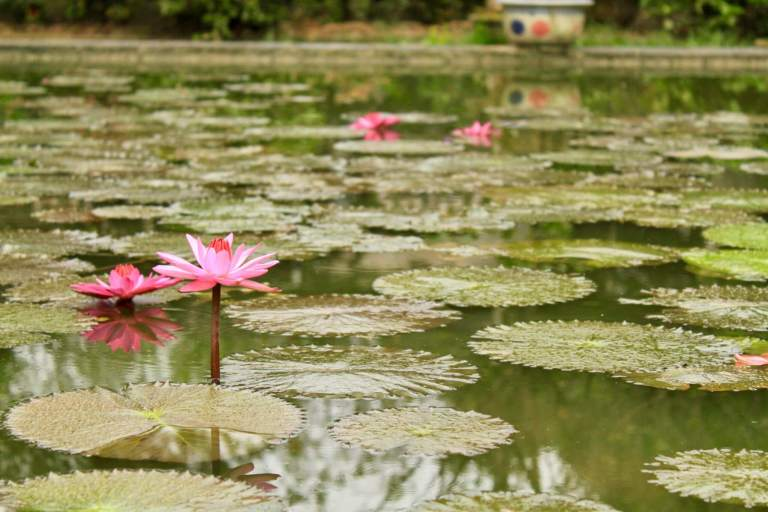 Bright pink flower blooming in water with lily pads all around
