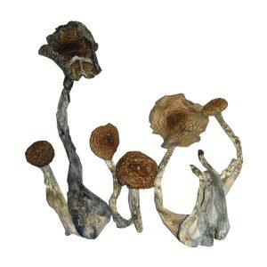 magic mushroom sampler pack
