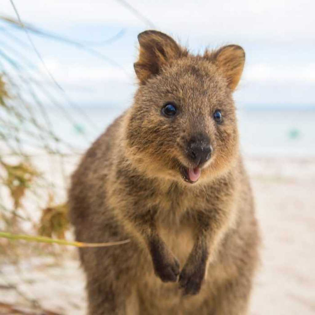 30 Funny Quokka Pictures That Will Make You Book a Flight ...